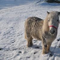 Our Shetland Pony Dinny