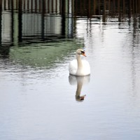 a swan on the lake